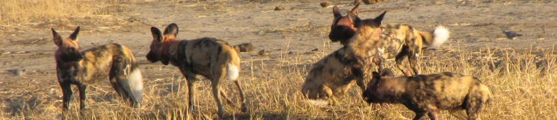 Afrikaanse Painted Dogs